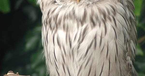 Ural Owl found on some castle grounds in Cumbria, England. The Ural