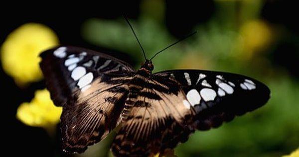 احدى الفراشات في حديقة دبي للفراشات دبي فراشات Photo By Francois Nel Getty Images Animals Instagram Insects