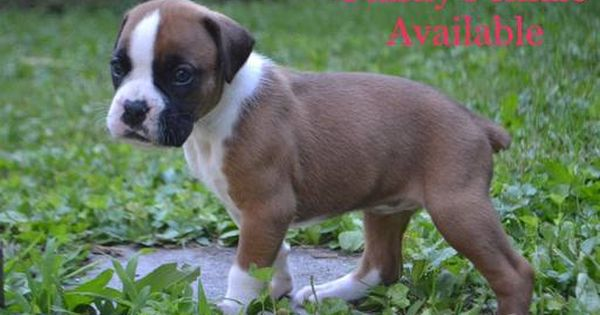 Litter Of 3 Boxer Puppies For Sale In Watertown Ny Adn 40132 On Puppyfinder Com Gender Female Age 4 Boxer Puppies For Sale Puppies For Sale Boxer Puppies