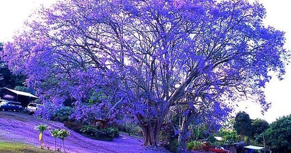 Vibrant Blue, Jacaranda Tree, Kona, Hawaii | The Best Travel Photos