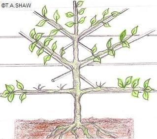 Great Diagrams Espalier Apple Tree Pruning C Copyright T A Shaw Espalier Fruit Trees Dwarf Fruit Trees Growing Apple Trees