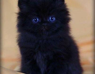 A little black kitty with blue eyes.