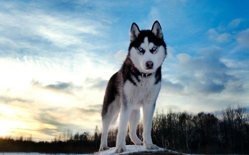Download Siberian Huskies Download Wallpaper 6080 for Desktop Backgrounds, Smartphones, Laptops, HD