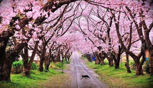 50 Lovely Cherry Blossom Wallpapers To Brighten Your Desktop Naldz Graphics Beautiful Landscape Wallpaper Landscape Wallpaper Cherry Blossom Wallpaper