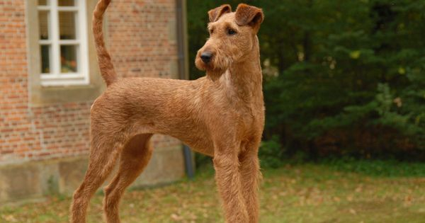 El Terrier Irlandes Presiona La Foto Para Leer Toda La Informacion Importante Sobre Esta Increible Raza Irish Terrier Terrier Dog Breeds Dog Breeds