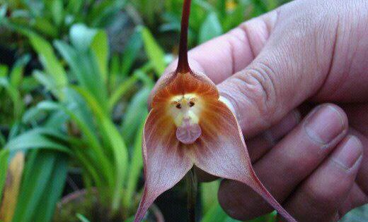 From the southeastern Ecuadorian and Peruvian cloud forests stems an amazing flower
