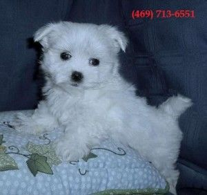 Maltese Puppies For Sale Maltese Puppy Maltese Puppies For