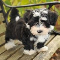 Breeders Of Exceptional Havanese And Labradors In Raleigh Nc Havanese Puppies Havanese Dogs Havanese