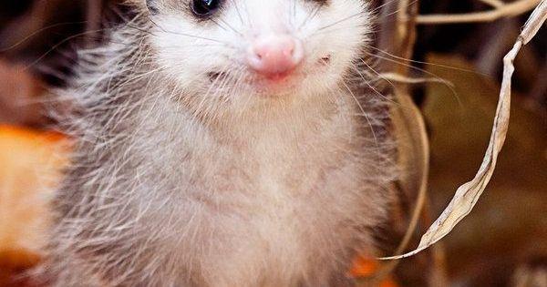 Pick: Cute Pumpkin Possum Of The Day | Pumpkins, Happy and ...