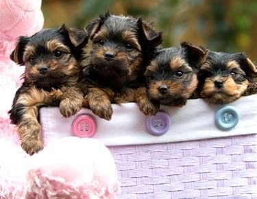 Teacup Yorkie Puppies For Sale Toy Yorkies Maltese Poodles Shih Tzu S Tiny Teacup Puppies Yorkie Puppy Yorkie Puppy For Sale Teacup Puppies
