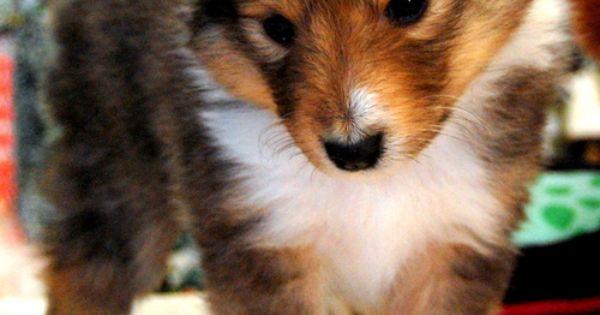 cute puppy shetland sheepdog