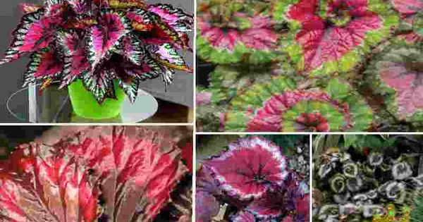 Pin By Qahtanadnaeef On نباتات منزلية Begonia Plants Decor