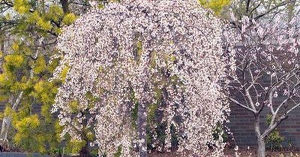 Akebono Yoshino Cherry Yoshino Cherry Yoshino Cherry Tree Plants