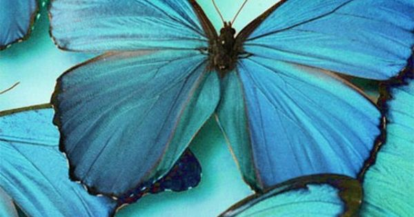 Blue morpho butterfly...such color.