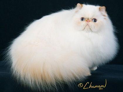 Cfa Persian Breed Council Himalayan Division Winners 2012 2013 Cute Cats And Kittens Beautiful Cats Persian Cat