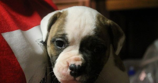 Litter Of 3 Olde English Bulldogge Puppies For Sale In Little Egg Harbor Nj Adn 56130 On Puppyfinder Com Gender Male Age 5 Wee Olde English Bulldogge Puppies For Sale Puppies
