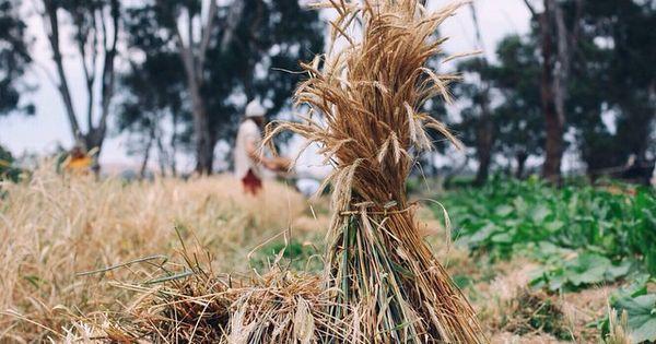 Small scale grain harvest homesteading heaven pinterest for Small scale homesteading