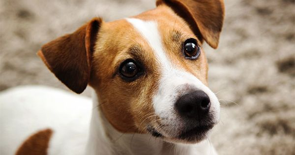 Jack Russell Terrier Temperament: What's Good About 'Em, What's Bad About 'Em