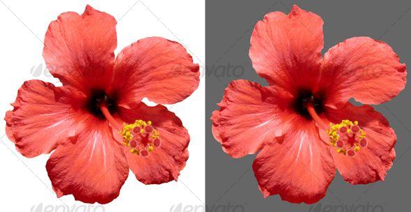 Red Hibiscus Flower Hibiscus Flowers Hibiscus Rosa Sinensis Flowers
