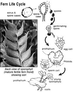 Diagram Showing Fern Life Cycle Fern Life Cycle Ferns Life Cycles