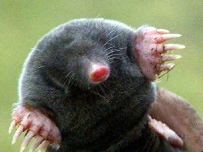 17 Best images about Moles on Pinterest Facts Baby animals and Eyes