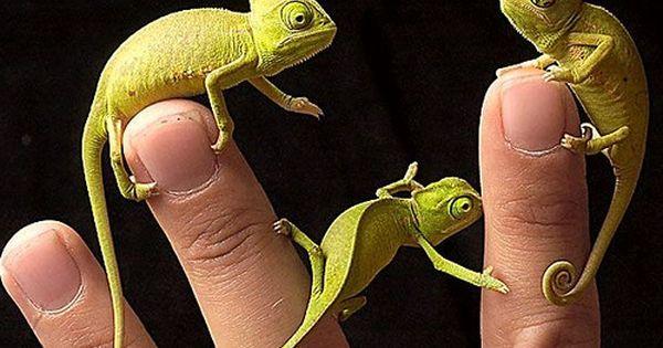 Pygmy chameleons
