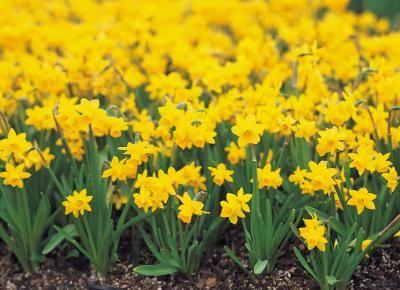 How Deep Do You Plant Daffodil Bulbs In 2021 Daffodils Daffodil Flower Flowers Perennials