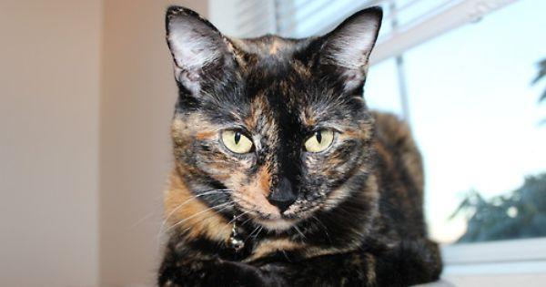 Tortie Cutey Tortoiseshell Tabby Tabby Cat Cat Love