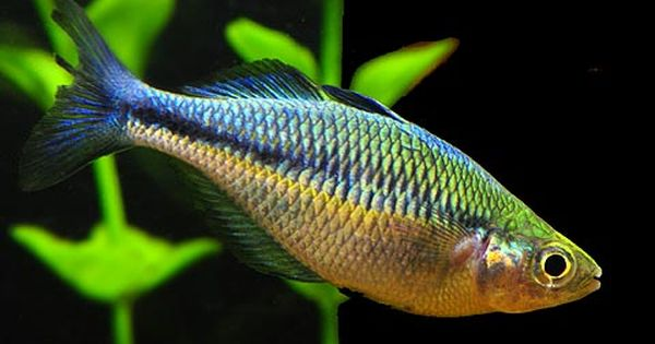 ... Aquarium Fish I Have Pinterest Turquoise, For sale and Rainbow