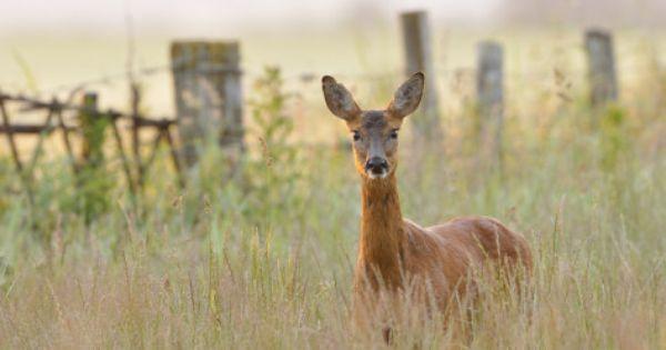 Roe Deer Capreolus Capreolus Doe In A Field Of Set Aside At Dawn