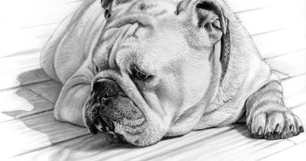 A Drawing Of An English Bulldog Pet Portraits Dog Drawing