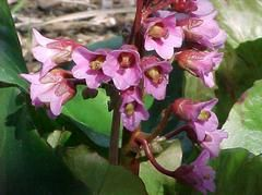 Bergenia Cordifolia In 2020 Dry Shade Plants Plants Plant Finder