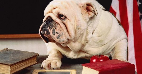 "Baggy Bulldogs - English Bulldog - ""I'm the teacher?"""