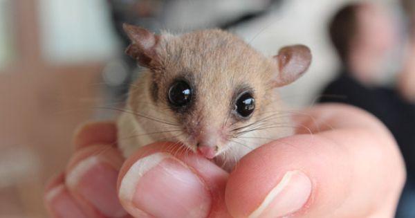 Western Pygmy Possum Cute Animals Pinterest Birds And Westerns