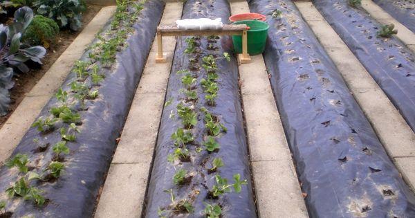 comment renouveler une plantation de fraises sur b che et. Black Bedroom Furniture Sets. Home Design Ideas