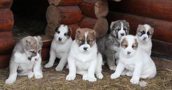 Alabai Alabay Turkmenistan Alabai Dog Kangal Dog Big Dogs