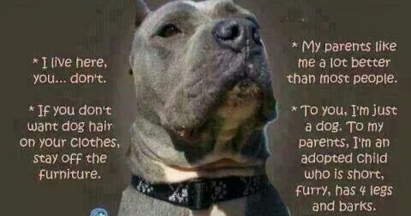 And If Anything Touches The Floor It S Mine No Questions Pitbulls Pitbull Dog Pitbull Terrier
