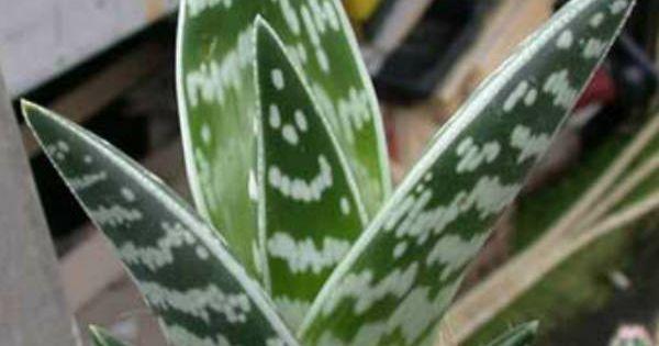 Aloe variegata (Tiger Aloe, Partridge Breast Aloe) → Plant ...