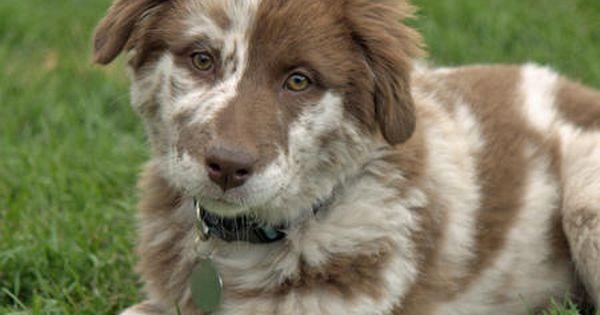 Gracey The Australian Shepherd Australian Shepherd Shepherd Puppies Australian Shepherd Puppies