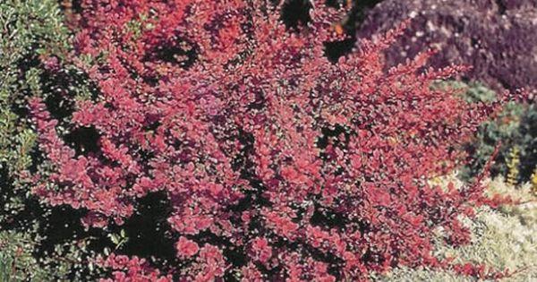 Berberis Thunbergii Barberry Bush Rose Glow A Deciduous