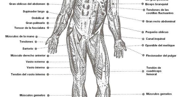 esquema del sistema muscular con los nombres de sus partes