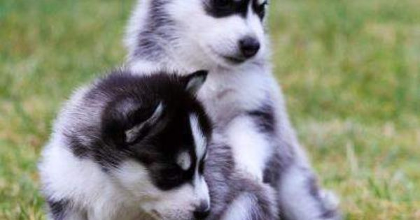 Northern Siberia Siberian Husky Puppies For Sale Northern Ireland Siberian Husky Puppies Husky Cute Husky