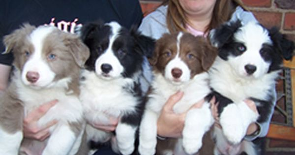 Lilac Black White Red White And White Border Puppies I Ll