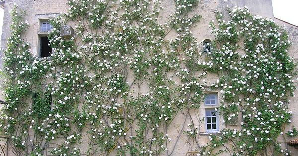 rosa madame alfred carriere favourite plants pinterest. Black Bedroom Furniture Sets. Home Design Ideas