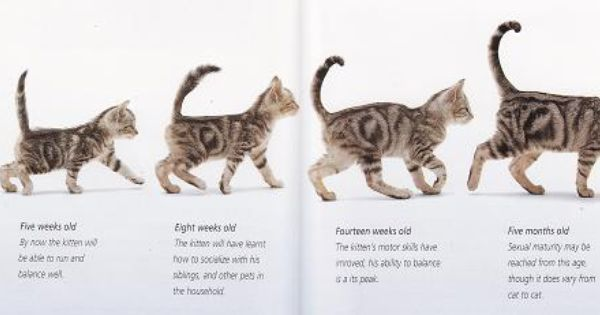 Kitten To Cat Growth | ... - kitten adoption, rescue, TNR ...