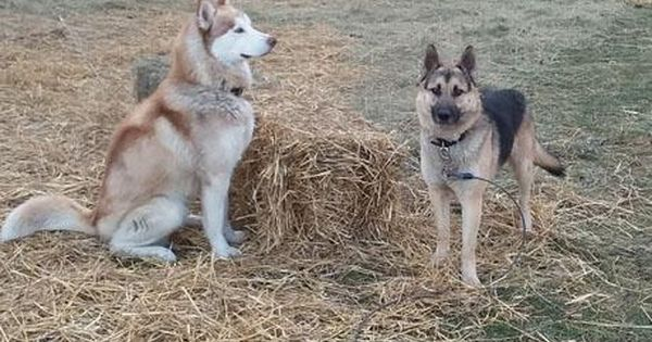 Adopt Sabre And Rolo On Pets Husky Husky Mix