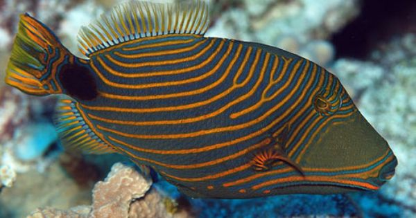 Pin On Triggerfish Filefish