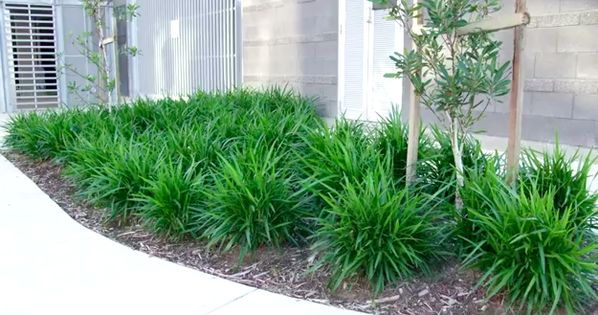 Little jess dianella is a tough low maintenance plant for Low maintenance plants for small gardens