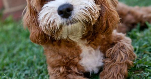 Hybrid Dog Breeds In Alphabetical Order With Pictures