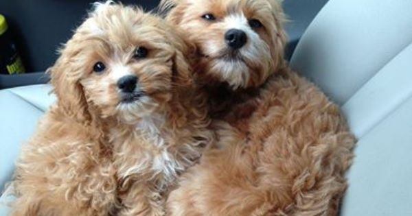 Fritzi Fergus Apricot Cavapoos From Www Pinewoodcavapoos Com